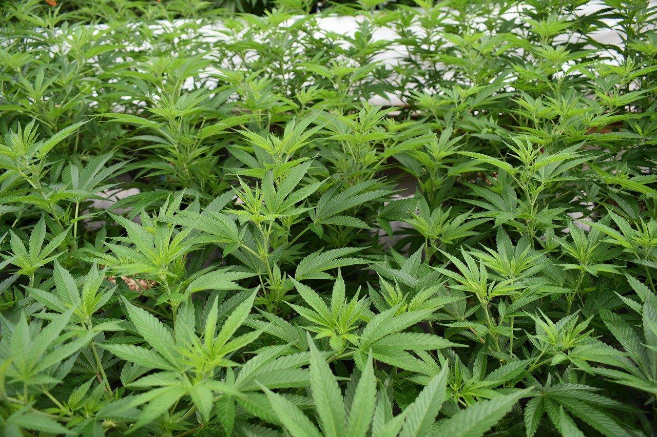 צמחי קנאביס
