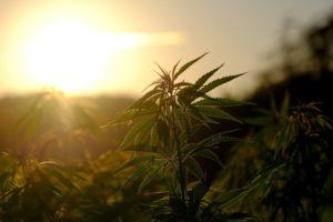 צמח קנאביס בשדה