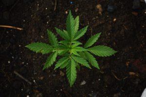 צמח קנאביס צעיר ובריא