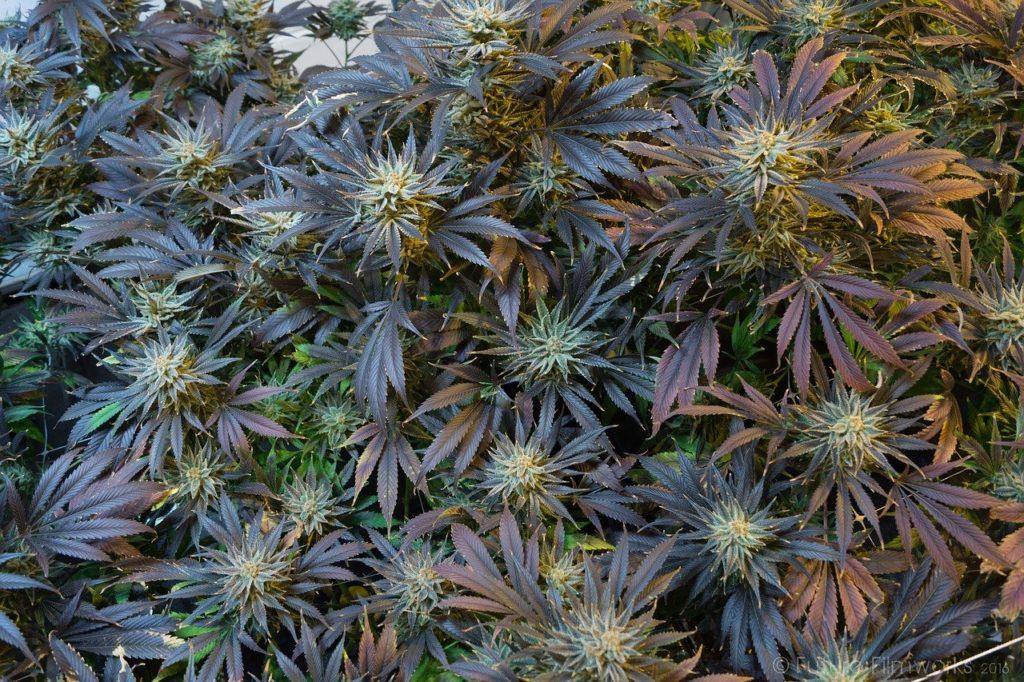 צמחי קנאביס פורחים