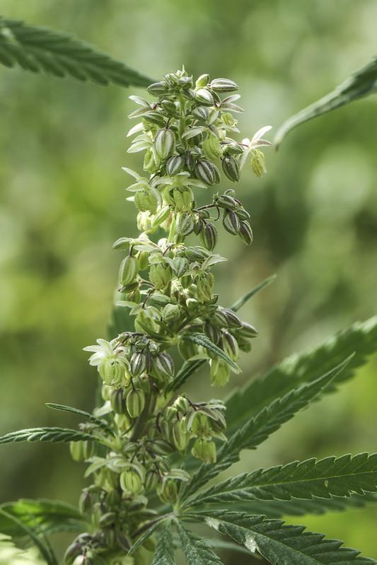 צמח קנאביס זכרי